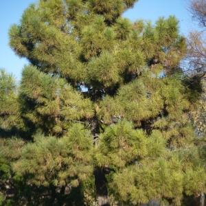 Photographie n°99207 du taxon Pinus pinaster subsp. pinaster