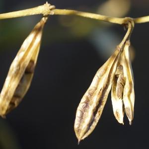 Photographie n°99275 du taxon Zygophyllum fabago L.