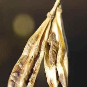 Photographie n°99277 du taxon Zygophyllum fabago L.