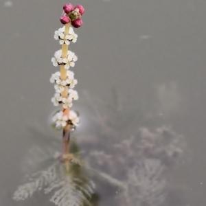 Myriophyllum spicatum L. [1753] (Myriophylle à épis)