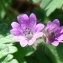Paul Fabre - Geranium molle L.