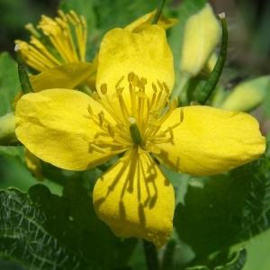 Chelidonium majus L. (Grande Chélidoine)