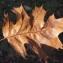 Liliane Roubaudi - Quercus rubra L.