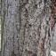 Liliane Roubaudi - Tilia ulmifolia subsp. vulgaris (Hayne) H.Marcailhou & A.Marcailhou [1901]