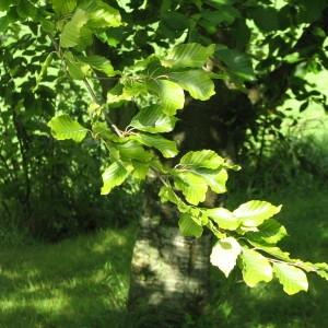 Photographie n°100098 du taxon Fagus sylvatica L.