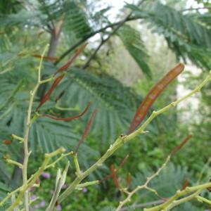 Photographie n°100107 du taxon Acacia dealbata Link [1822]