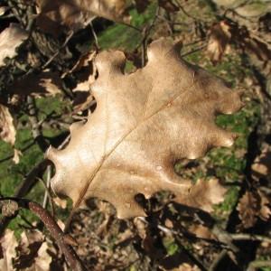 Photographie n°100122 du taxon Quercus pubescens Willd. [1805]