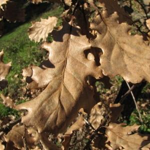 Photographie n°100123 du taxon Quercus pubescens Willd. [1805]
