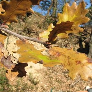 Photographie n°100129 du taxon Quercus pubescens Willd. [1805]