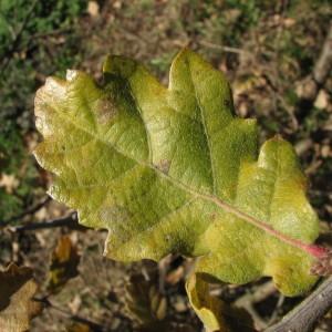 Photographie n°100134 du taxon Quercus pubescens Willd. [1805]
