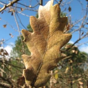 Photographie n°100135 du taxon Quercus pubescens Willd. [1805]