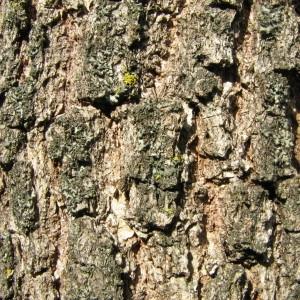 Photographie n°100138 du taxon Quercus pubescens Willd. [1805]