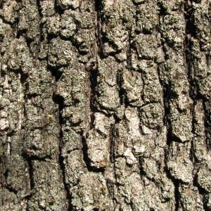 Photographie n°100139 du taxon Quercus pubescens Willd. [1805]