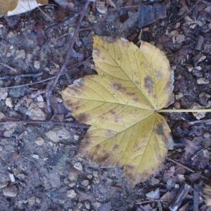 Photographie n°100479 du taxon Acer pseudoplatanus L.