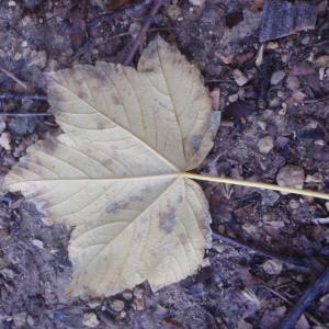 Photographie n°100480 du taxon Acer pseudoplatanus L.