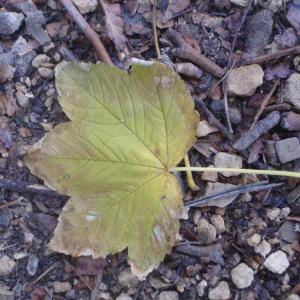 Photographie n°100481 du taxon Acer pseudoplatanus L.