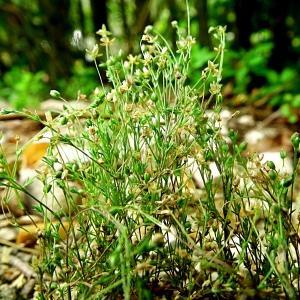 Photographie n°100705 du taxon Sagina apetala Ard.