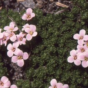 Photographie n°101084 du taxon Petrocallis pyrenaica (L.) R.Br. [1812]