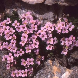 Photographie n°101085 du taxon Petrocallis pyrenaica (L.) R.Br. [1812]