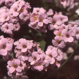 Petrocallis pyrenaica (L.) R.Br. (Drave des Pyrénées)