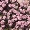 Liliane Roubaudi - Petrocallis pyrenaica (L.) R.Br. [1812]
