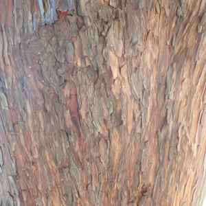 Photographie n°101146 du taxon Arbutus unedo L. [1753]