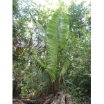 Prestoea montana (Graham) Nicholson (Palmiste montagne)