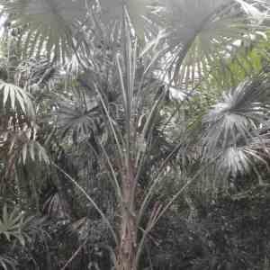Photographie n°101363 du taxon Arecaceae