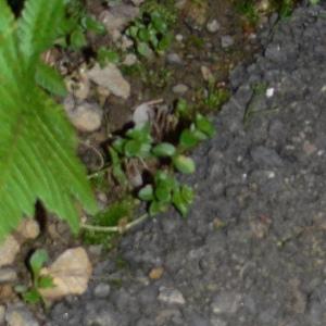 Photographie n°101429 du taxon Mouron des champs