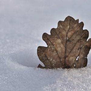 - Quercus robur var. robur