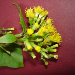 Photographie n°101478 du taxon Delairea odorata Lem.