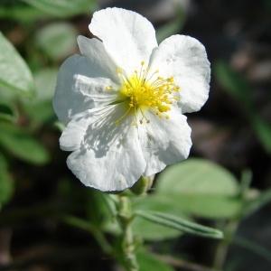 Helianthemum apenninum (L.) Mill. (Hélianthème des Apennins)