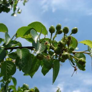 Photographie n°101520 du taxon Prunus mahaleb L.