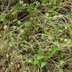 Photographie n°101530 du taxon Ranunculus ophioglossifolius Vill. [1789]