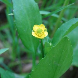 Ranunculus ophioglossifolius Vill. [1789] (Renoncule à feuilles d'ophioglosse)