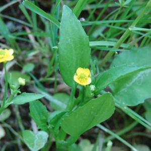 - Ranunculus ophioglossifolius Vill.