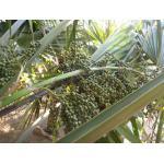 Sabal palmetto (Walter) Lodd. ex Schult. & Schult.f. (Chou palmiste)
