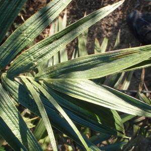 Photographie n°101588 du taxon Arecaceae