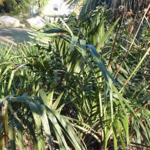 Photographie n°101590 du taxon Arecaceae