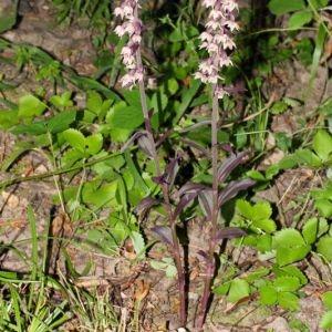 Photographie n°101685 du taxon Epipactis purpurata Sm.