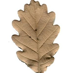 Photographie n°101691 du taxon Quercus pubescens Willd. [1805]