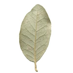 Photographie n°101699 du taxon Quercus ilex L. [1753]