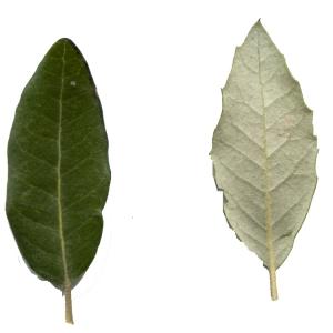 Photographie n°101700 du taxon Quercus ilex L. [1753]