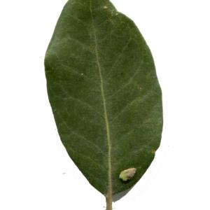 Photographie n°101701 du taxon Quercus ilex L. [1753]