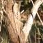 Liliane Roubaudi - Juniperus phoenicea L. [1753]