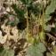Liliane Roubaudi - Erodium malacoides (L.) L'Hér.