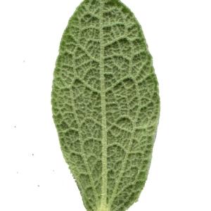 Photographie n°101821 du taxon Cistus albidus L. [1753]