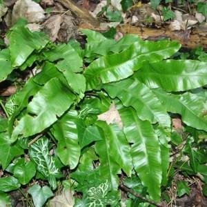 Photographie n°101900 du taxon Asplenium scolopendrium L. [1753]