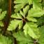 John De Vos - Geranium robertianum subsp. purpureum (Vill.) Nyman [1878]