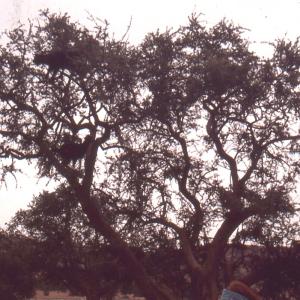 Photographie n°102180 du taxon Argania spinosa (L.) Skeels
